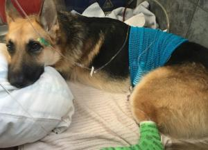 Family dog left fighting for life after saving young girl, 7