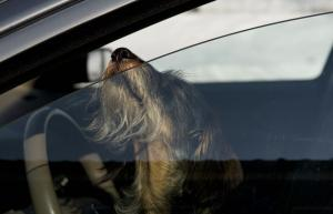 6 reasons you should NEVER leave your dog in the car alone
